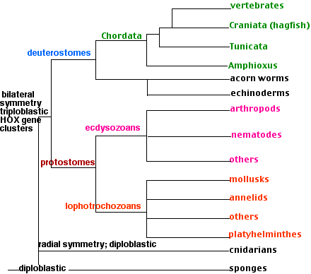 phylum platyhelminthes protostome vagy deuterostome
