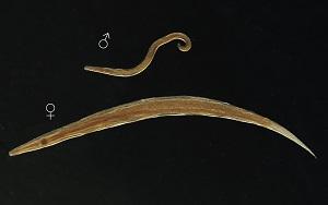 Pinworms egy felnőtt kezelés során - Parazita mátrix
