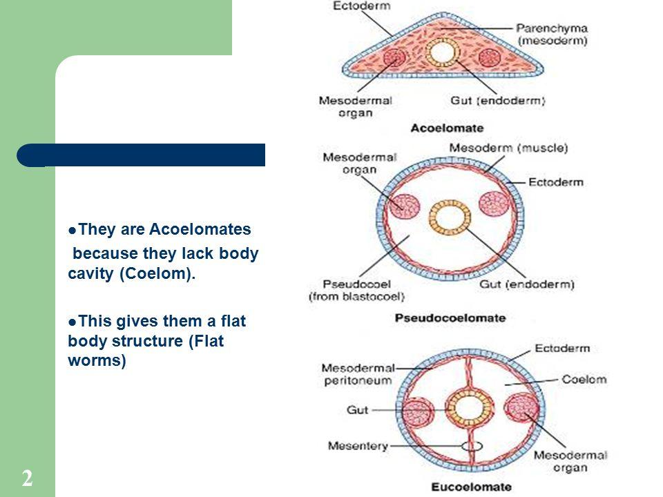 Különbség a Platyhelminthes és a Nematoda között - A Különbség Köztük, Platyhelminthes coelom