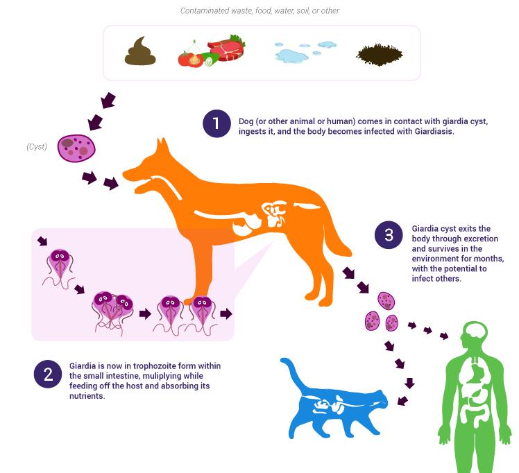 wat este giardia bij honden