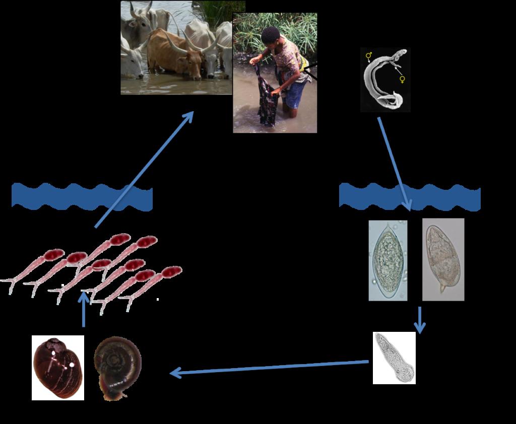 schistosomiasis zoonosis)