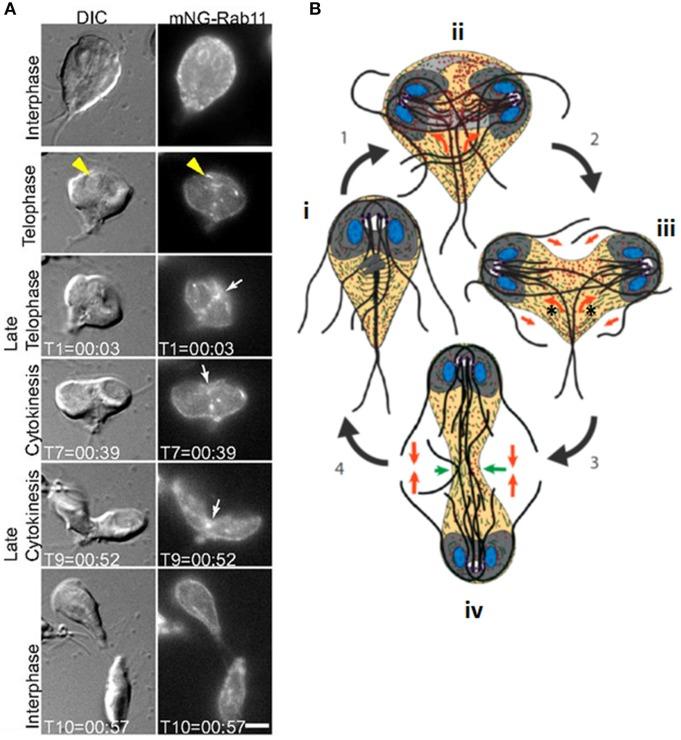 papillomavírus mit és légzőszervi vírusellenes papillomatosis