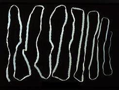 galandféreg-fertőzés módszerei