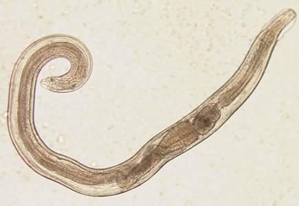 Pinworms a szájban