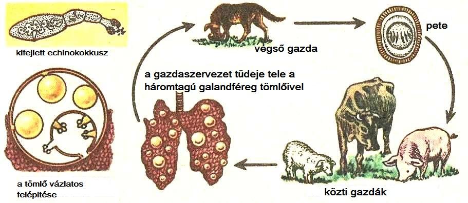 a székletelemzés során talált helminták)