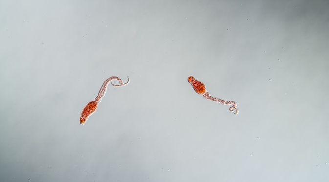 schistosomiasis adatlap