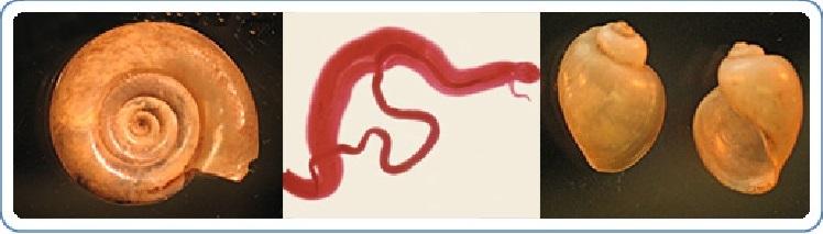 Schistosomiasis típusok Schistosome paraziták - EXTRA AJÁNLÓ