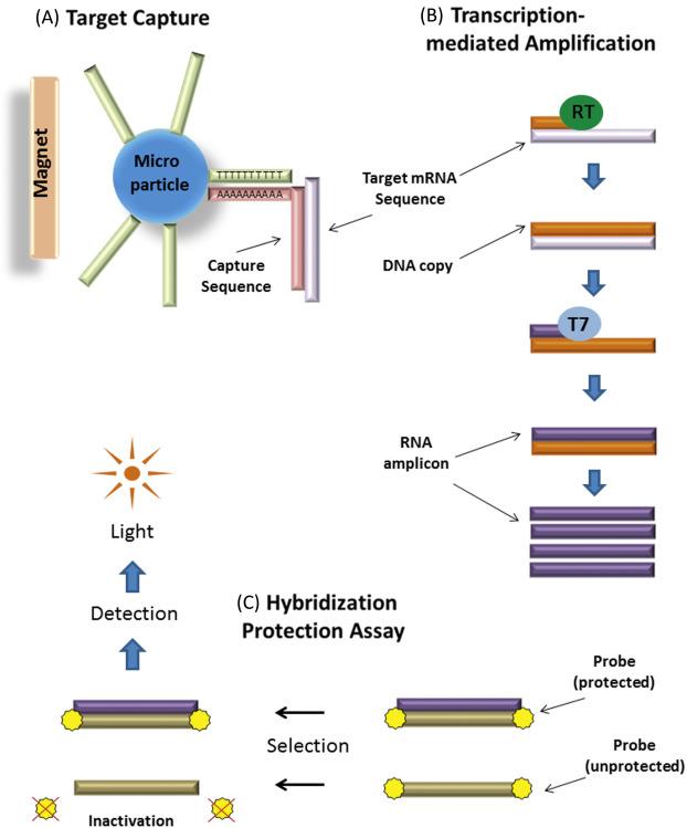 papillomavírus fehérje 16