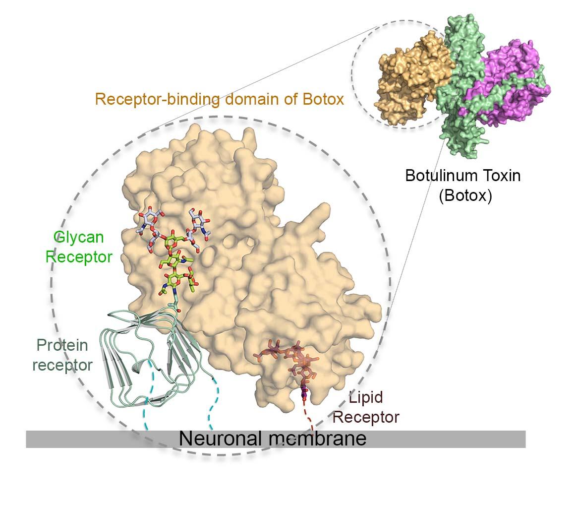a botulinum toxin bevitelének útja)