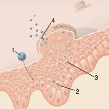 a giardiasis kórokozójának egy formája helmint parazita készítmény