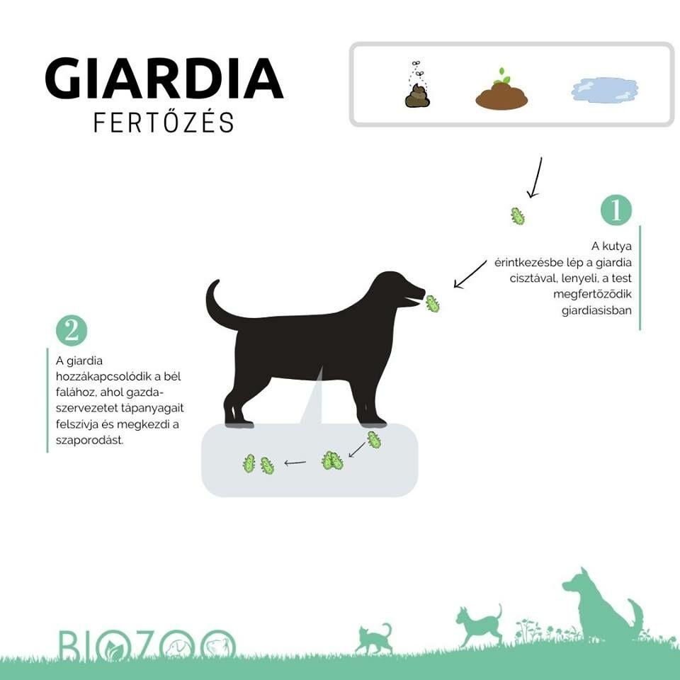 Giardiasis (giardiázis): kutyára, emberre egyaránt fertőző betegség