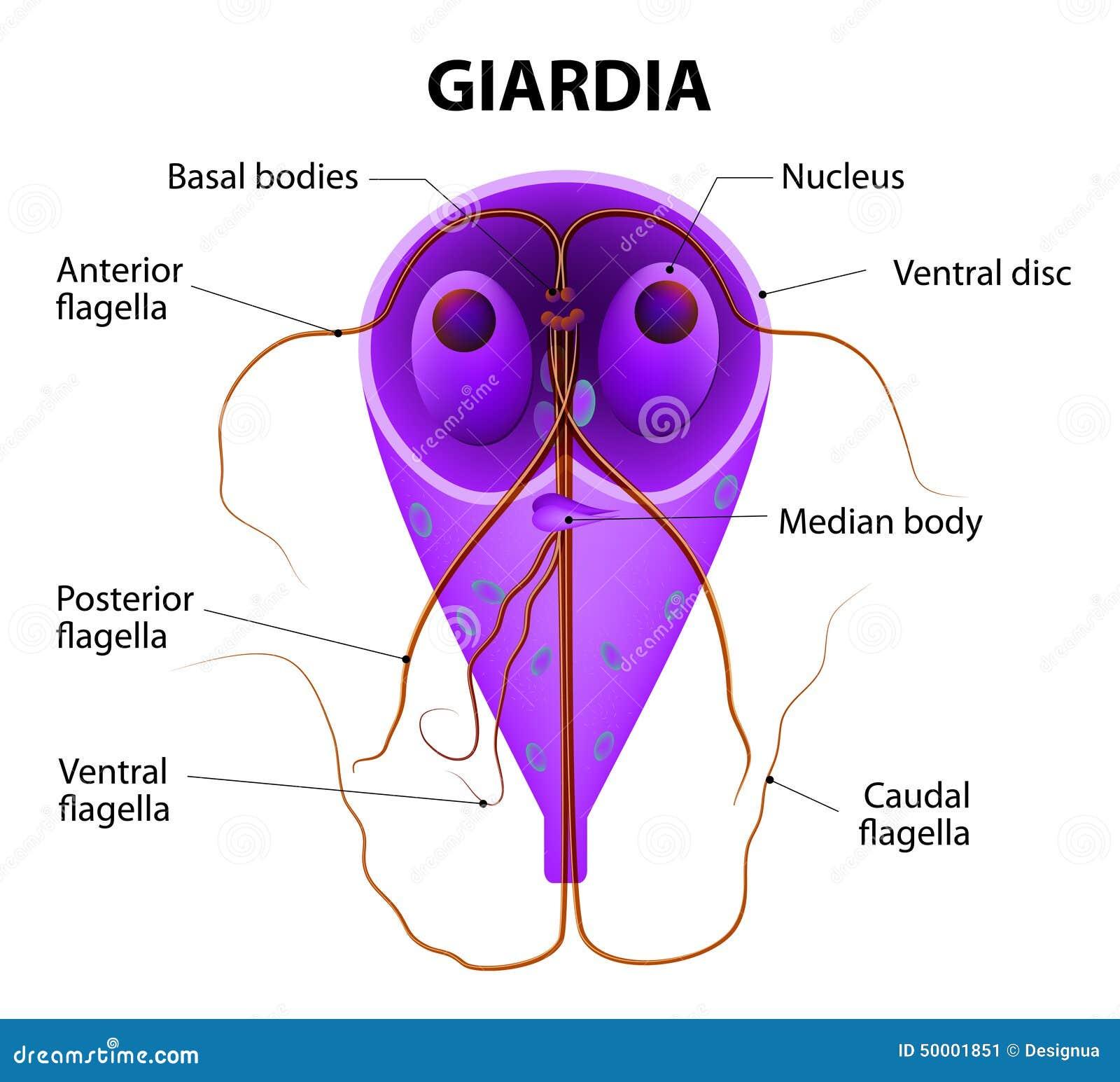 Szuszpenzió giardiasis esetén. mazsolakonyhaja.hu - Féregtelenítés
