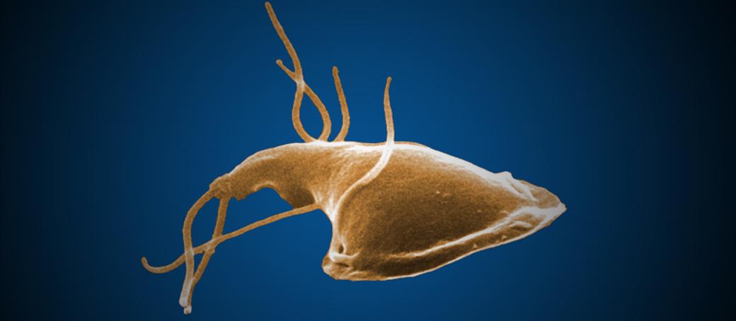 protozoa giardia spp)
