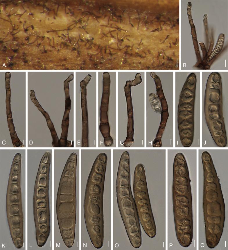 helicintosporium zeicola)