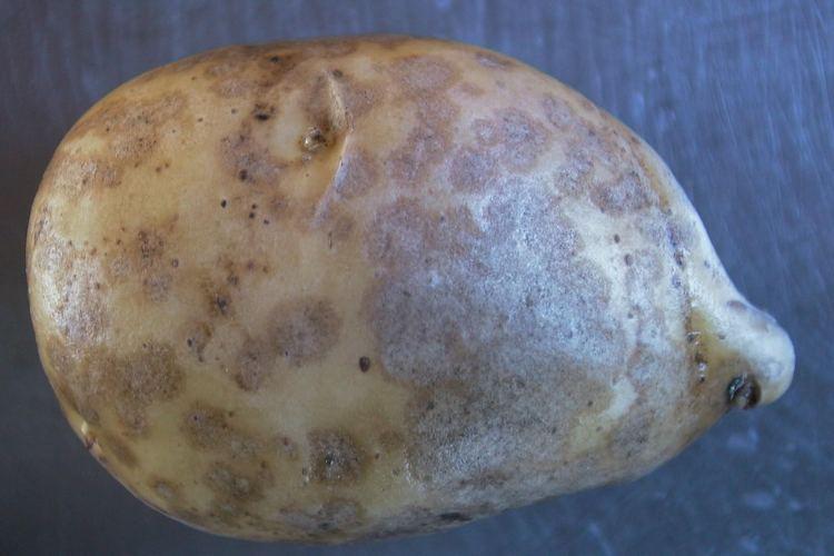 helminthosporium solani