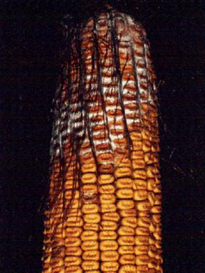 kukorica helminthosporium turcicum