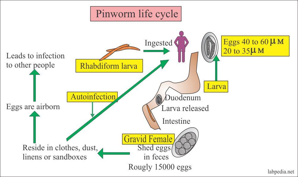 Férgek gyógyászati megelőzése gyermekeknél - Pinworm megelőzése gyermekeknél