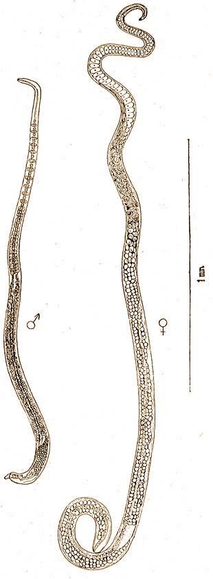 platyhelminthes májáramlás gyógyszer a pinwormok ellen