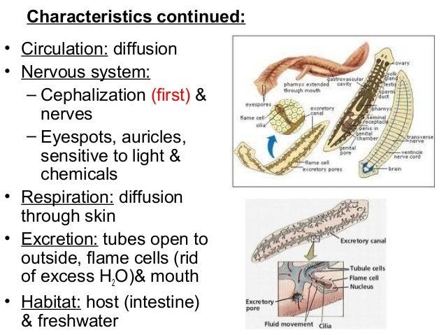 Biológia Phylum Platyhelminthes. Biológia Phylum Platyhelminthes, Állatrendszertan