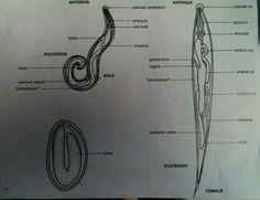 enterobius vermicularis, aki)