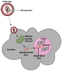 rezisztens papilloma vírus)