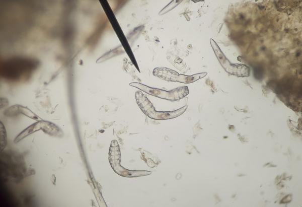 Hogyan lehet eltávolítani a féreg combját Gyakran előforduló macskabetegségek