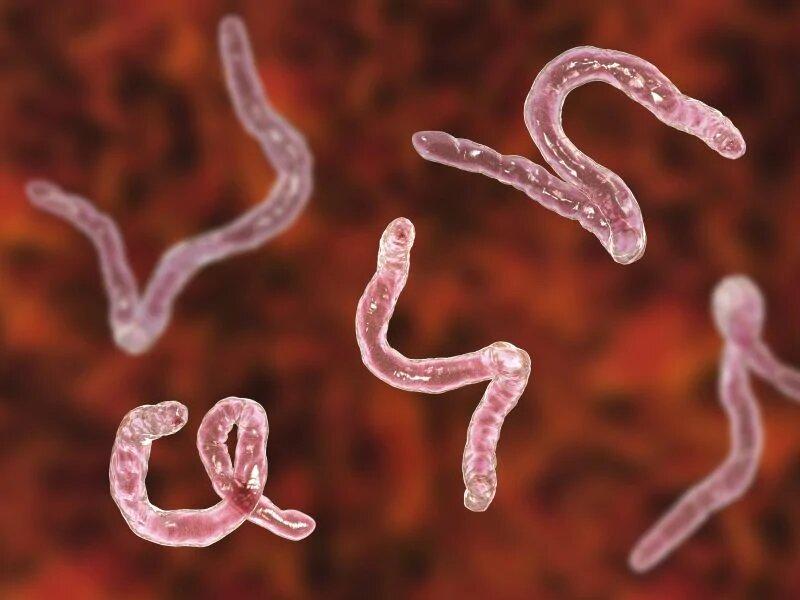 helmintás fertőzés hookworm