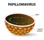 hpv vírus vrouwen)