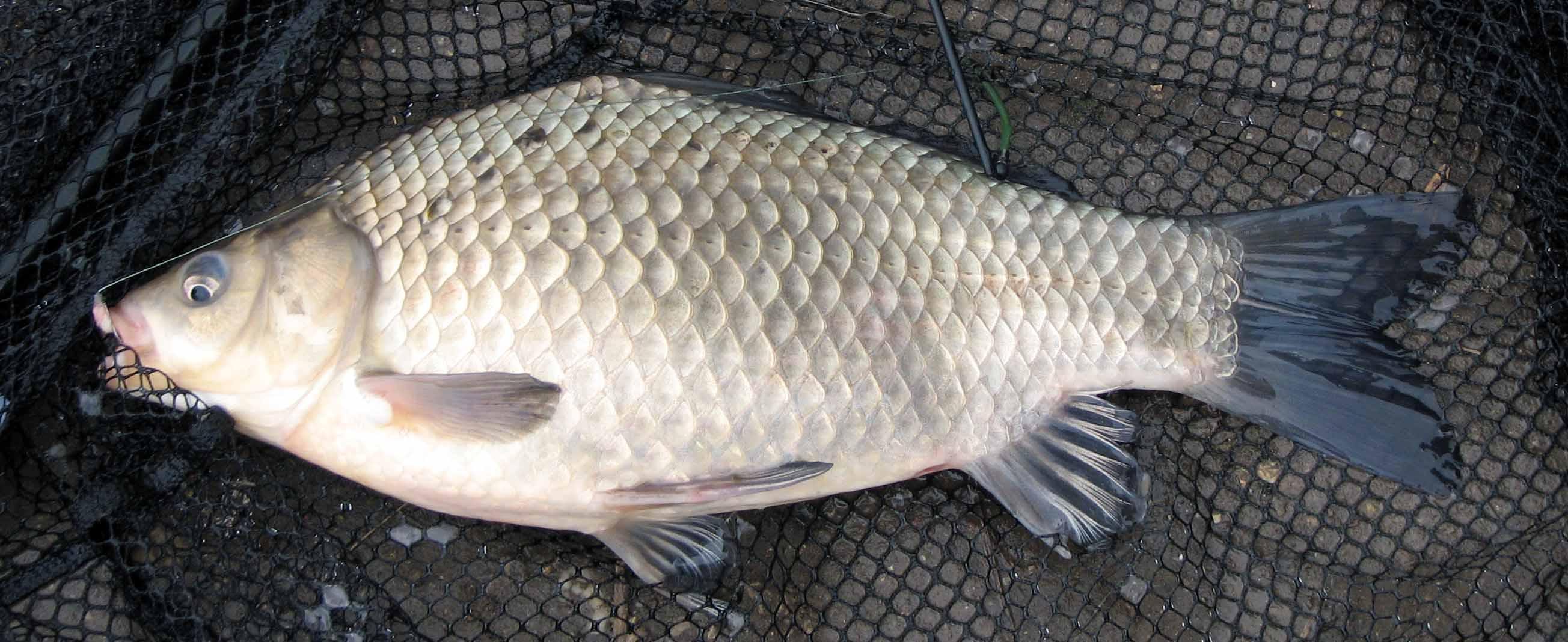 Kárász – tancsicsmuvelodesihaz.hu – horgászat, horgász blog