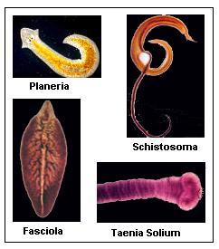 Metazoa paraziták genomjai