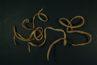 Pinworm testhossza. Pinworms testhossza, A leghatékonyabb megoldás a pinworms eltávolítására